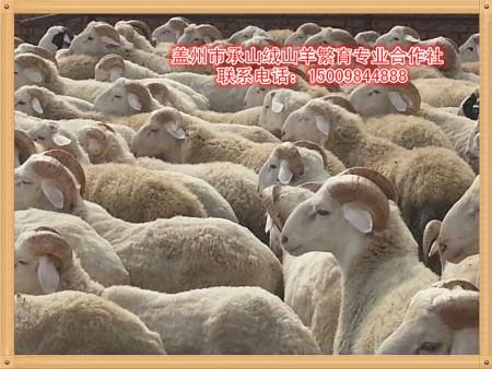 盖州绒山羊,承山绒山羊