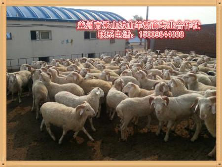 盖州市承山绒山羊繁育专业合作社—盖州绒山羊养殖前景