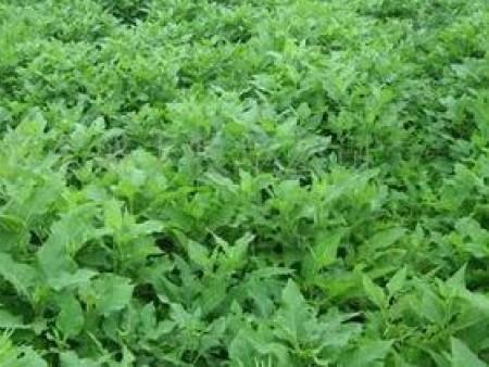 如何规范化的对高产牧草品种使用肥料