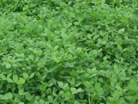 健宝牧草的营养生长期与芽期知识当掌握