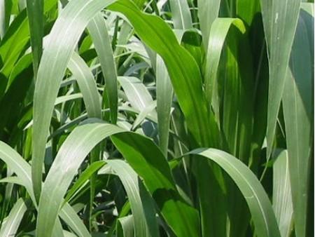 墨西哥玉米草优12种子