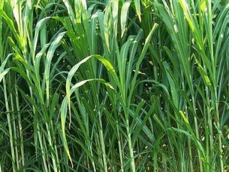 高产牧草品种适合大食量的肥牛