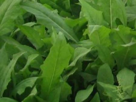 高产优质牧草-法国苦荬菜