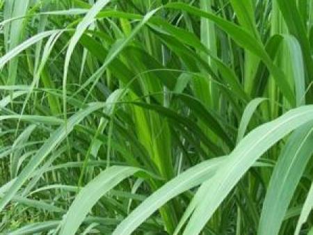 养牛玉米草:专业的墨西哥玉米草在哪里可以找到