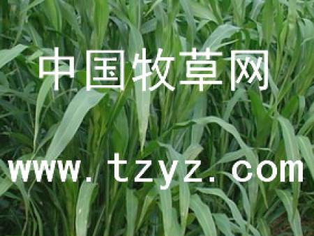 乐食牧草种子