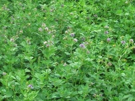三得利紫花苜蓿种子