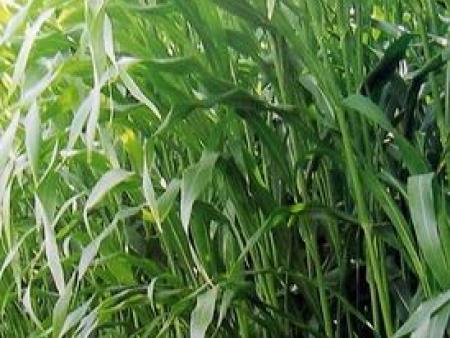 健宝牧草种子