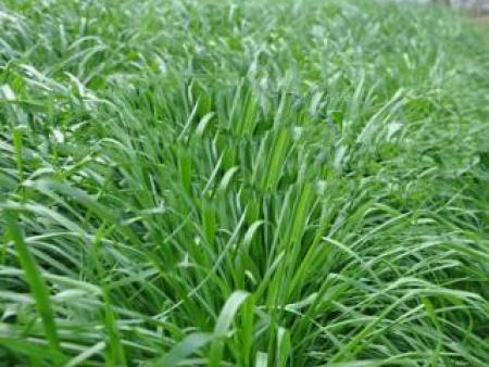 意大利多年生黑麦草种子