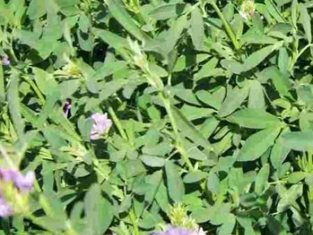 北方牧草——金皇后紫花苜蓿种子