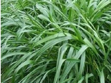 美国特高黑麦草种子