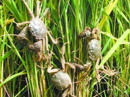 盤錦河蟹圖片