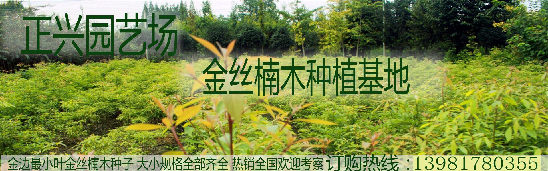 正兴园艺场 全国最大的金丝楠木树基地