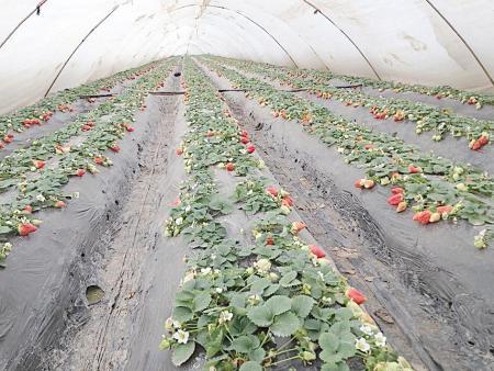 大量供应农用塑料薄膜 蔬菜透明易胜博备用网址