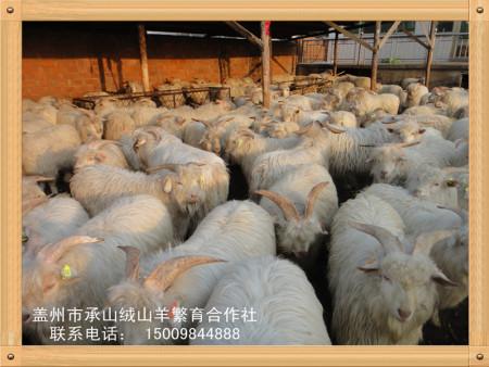 辽宁绒山羊品牌承山直供——火热销售的承山绒山羊市场价格情况