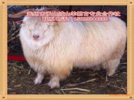 营口优良的绒山羊·厂家直销 中国盖州承山绒山羊品牌产供销价格