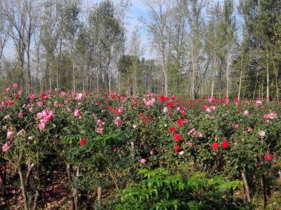 月季苗 月季樹 南陽月季-南陽天潤月季有限公司