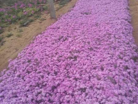 宿根花卉基地告诉大家它的美化使用及其长处