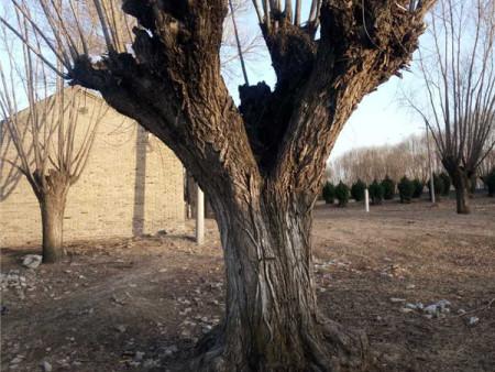 大型丁香树基地:榆树怎样修剪和造型?
