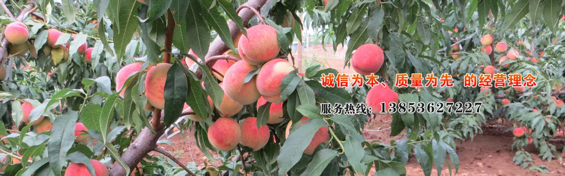 青州桃苗基地