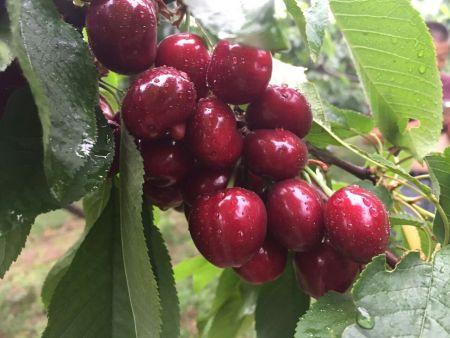 水果帮苗木种植基地