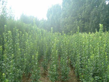 绿化苗木点击进入