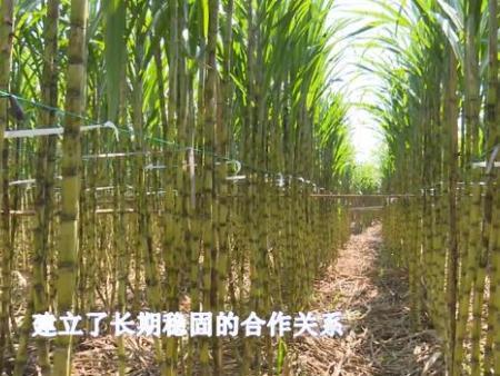 甘蔗种植施用12bet博手机客户端