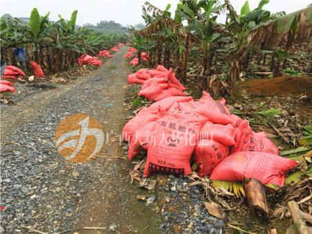 广西香蕉12bet博手机客户端施用 香蕉种植基地