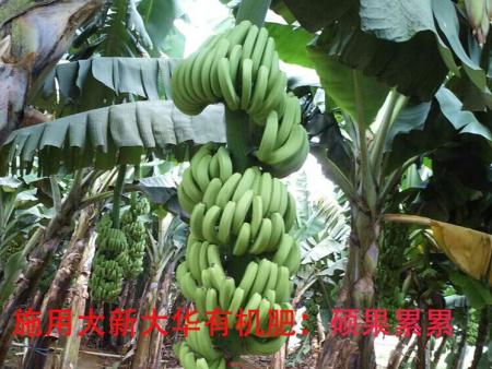 香蕉种植基地