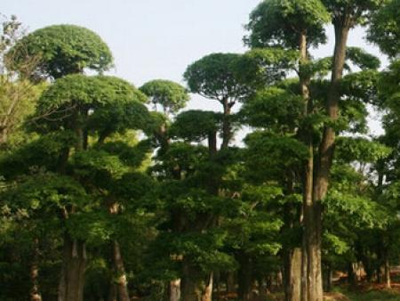 国槐盆景--金叶榆具有抗逆性