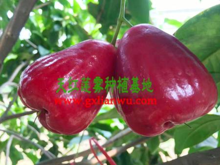 蓮霧苗臺灣專家成功在廣西栽培蓮霧種苗