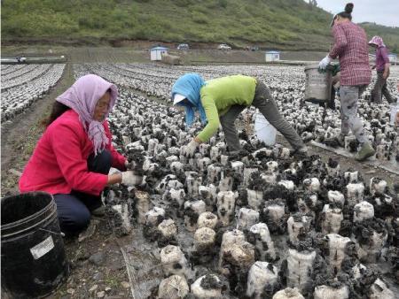 黑龙江穆棱市依托食用菌开辟特色产业发展新路