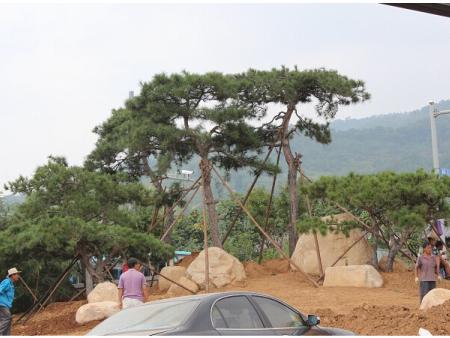 亚博体育松栽培现场