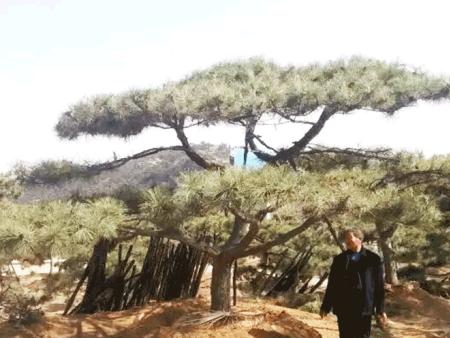 亚博体育松树