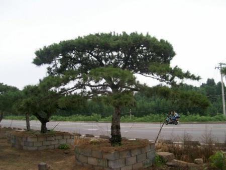 亚博体育油松树