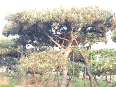 造型松基地讲述了造型松树的育种技术