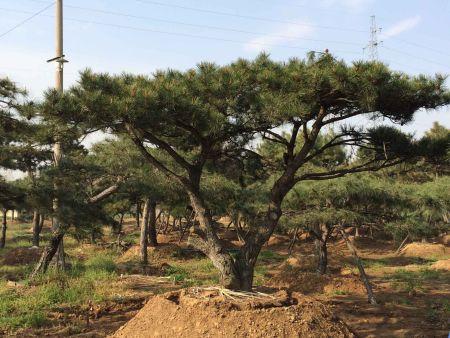 莱芜造型油松茎腐病的治理方法!