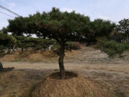 莱芜造型油松施肥要领!