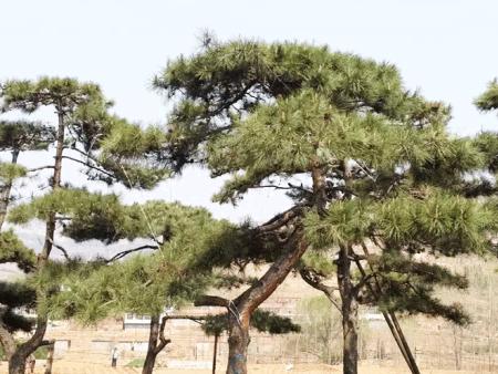 造型松树得了癌症怎么弄-莱芜颖松园林有办法