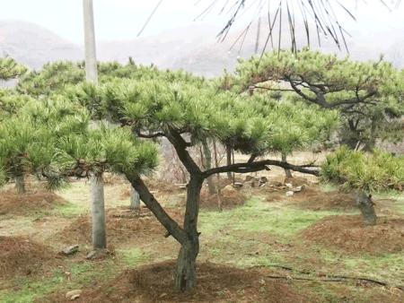 莱芜造型松栽培方法及注意事项