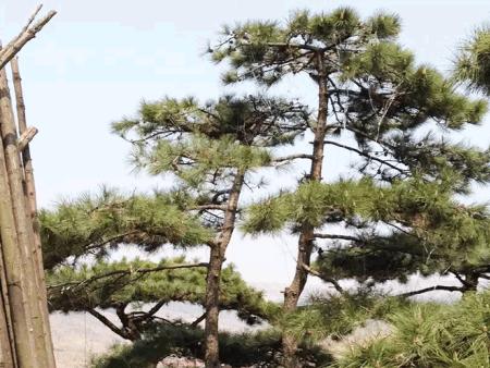 详细解释造型松上的斑点是什么