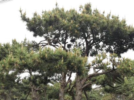 """广东:""""两个花园""""不妨种植一千棵造型松来推广"""