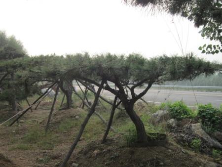 刚种植的造型松怎么预防风雨的侵袭