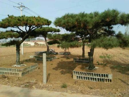 造型黑松的土壤管理技术