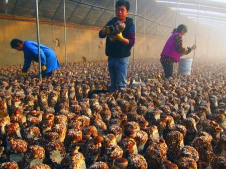 遵化市食用菌现代农业园成功创建省级农业园区