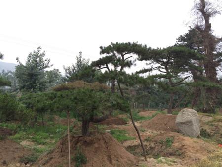 种植造型景观松和保温的技巧详细解读