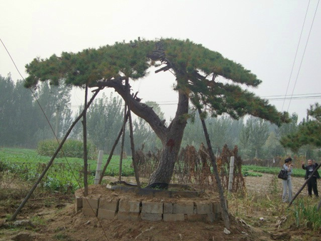 造型油松基地_造型油松行情将呈现怎样的发展趋势