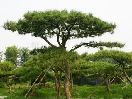 清明假期将至_掌握两种种植造型松的方法