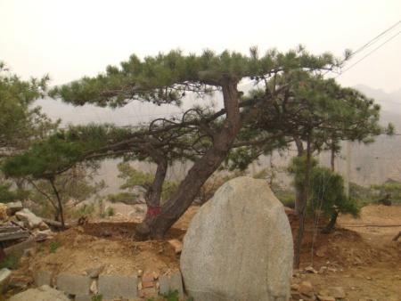 造型油松大树移栽技术简述