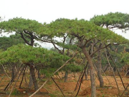 造型黑松在绿化工程中到底起到了多大的作用?
