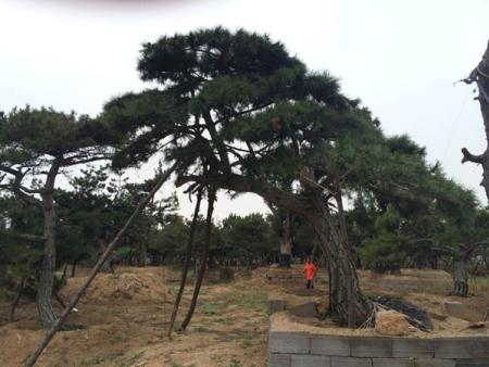 造型松苗木产业如何有效控制成本